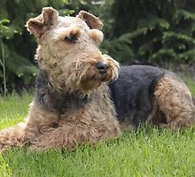 Furry Welsh Terrier by welovethedogs