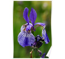 Blooming Purple Iris Poster