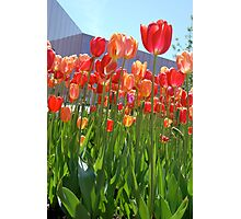 Library Tulips Photographic Print