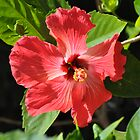 Red Hibiscus by Jeff Ore