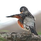 American Robin by Lisa G. Putman