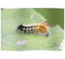Impressed Dagger Moth Caterpillar  Poster