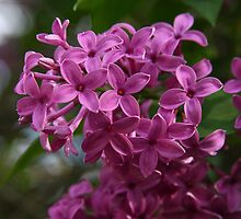 Lilacs by Lyle Hatch