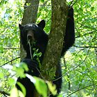 black bear attitude by dc witmer