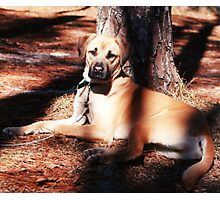 Diesel the Rhodesian Ridgeback Photographic Print