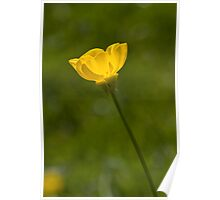 Bulbous Buttercup (Ranunculus bulbosus) Poster
