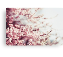 Spring Cherry blossoms, pink flowers. Canvas Print