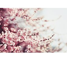 Spring Cherry blossoms, pink flowers. Photographic Print