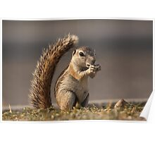 Ground Squirrel Poster