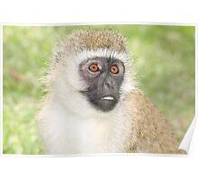 Vervet monkey Poster