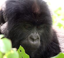 Mountain gorilla by ChrisCoombes