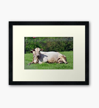 Comfy cows Framed Print