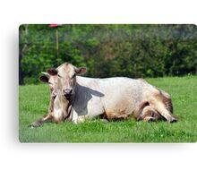 Comfy cows Canvas Print