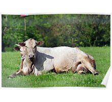 Comfy cows Poster