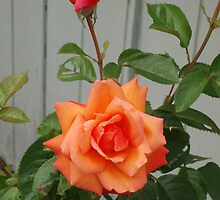 Red/orange rose by Tove