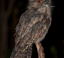 Tawny Frogmouth by David Sumner
