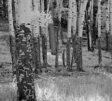 Aspens (infrared) by Vicky Hamilton