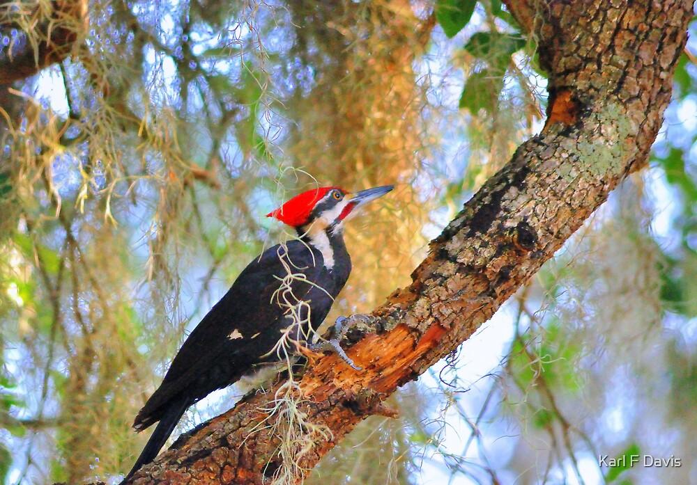 Pileated Woodpecker by Karl F Davis