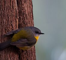 Eastern Yellow Robin by David Sumner