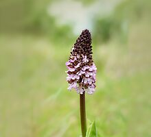 Orchid, Orchis purpurea by Andrew Jones
