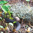 Banded Water Snake by imagetj