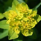Cushion Spurge by Karen K Smith