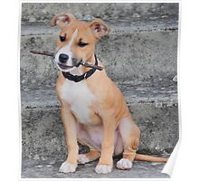 Adorable American Staffordshire Bull Terrier Poster