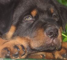 56 Days Young - Rottweiler Portrait by taiche