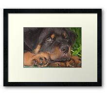 56 Days Young - Rottweiler Portrait Framed Print
