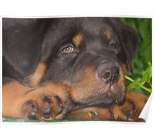 56 Days Young - Rottweiler Portrait Poster