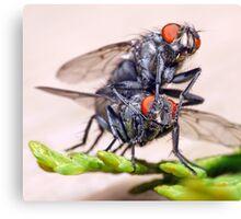 Mating Flies (3) ! Canvas Print