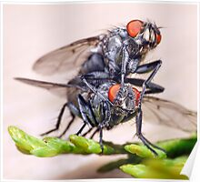 Mating Flies (3) ! Poster