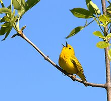 Small Bird Big Pipes by MitchM