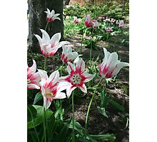 Pink and White Tulips Photographic Print