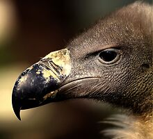Eurasian Griffon Vulture, Gyps fulvus by larry flewers