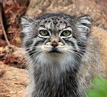 Pallas Cat by starbucksgirl26