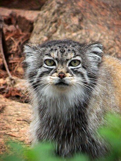 Pallas Cat by starbucksgirl26