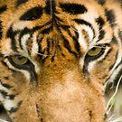 Sumatran Tiger by Sean McConnery
