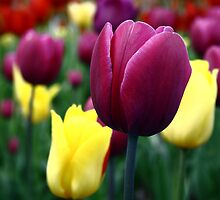Tulip fever by Ghelly