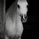 Arabian Beauty by Sharon Morris