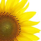 Sunflower by crossmark