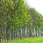 Stretched Birches by Victor Pugatschew