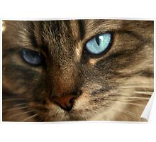 Close Up Of Blue Eyes Cat Poster