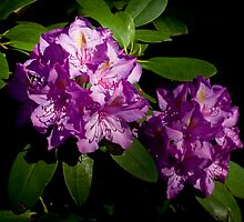 Rhododendron Pair by G. Patrick Colvin