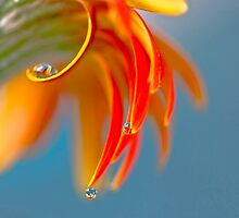 Drops on petals by Tony Eccles