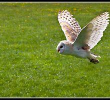 Barn owl in flight by Shaun Whiteman