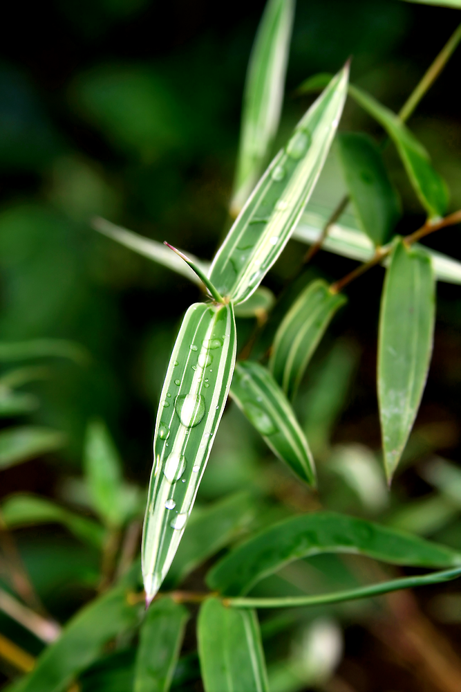 Verigated Bamboo with Fresh Dew by MacLeod