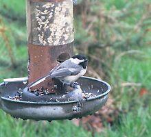 Black capped Chickadee at birdfeeder by Linda Snider by sniderll