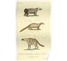 The Animal Kingdom by Georges Cuvier, PA Latreille, and Henry McMurtrie 1834 593 - Mammalia Mammals Poster