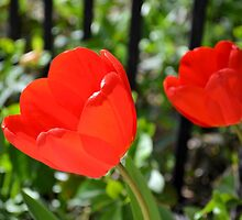 Backlit Red Tulips by Kathleen Brant